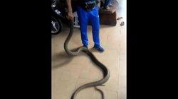 Video: Tay không bắt hổ mang chúa khổng lồ ở Malaysia