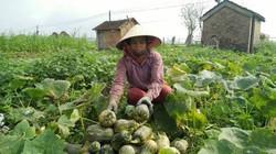 Chỉ 75 ngày trồng bù đỏ, nhà nông bỏ túi trên 100 triệu đồng/ha