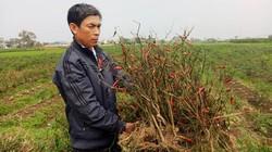 Thanh Hóa: Ứa nước mắt 4 sào ớt xuất khẩu nghi bị phun thuốc trừ cỏ