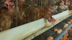 Làm giàu ở nông thôn: Thu tiền tỷ nhờ nuôi gà siêu trứng VietGAP