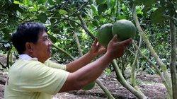 Bỏ lúa trồng 1.400 gốc bưởi da xanh, doanh thu hơn 1 tỷ đồng