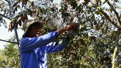 Làm giàu ở nông thôn: Ăn chắc mặc bền với vú sữa tím xưa