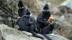 Độc đáo: Đàn voọc 90 con, mẹ đen con vàng, thích ăn thảo quả ở xứ Tuyên