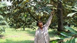 Bỏ mía trồng sầu riêng, nông dân lãi nửa tỷ mỗi năm