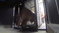 Hổ, sư tử đói trơ xương, không đứng dậy nổi ở rạp xiếc TBN