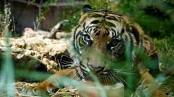 Hổ cái tấn công ăn thịt 2 người, không thèm ăn dê