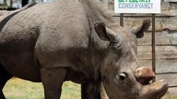 Con tê giác trắng phương bắc đực cuối cùng qua đời, để lại 2 con cái