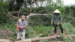 Bình Phước: 27.000 nọc tiêu, 5ha điều bị lốc xoáy trái mùa cuốn đổ