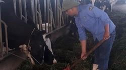 Làm giàu ở nông thôn: Bỏ phố về quê nuôi bò, vắt ra sữa, lãi gần 1 tỷ/năm