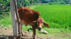 Thực hư 13 con bò giống hỗ trợ lọt vào nhà cán bộ, bị bán giết thịt