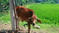 Kiểm tra dấu hiệu vi phạm của Phó Chủ tịch xã vụ bò giống bị thịt