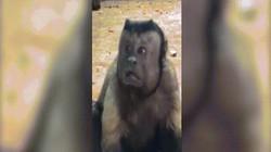 Video: Khỉ mặt giống hệt người khiến khách tham quan ngỡ ngàng