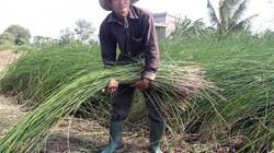 """Cả làng đồng loạt bỏ lúa trồng """"cỏ dại"""" lại có tiền quanh năm"""
