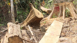 Lộ diện các đối tượng phá rừng phòng hộ Sông Kôn