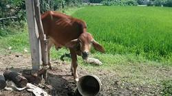 Phó Chủ tịch xã nói về việc phân bò giống cho người nhà cán bộ và bán thịt