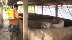 Yên Bái: Kịp thời dập ổ dịch lở mồm long móng bùng phát đầu năm