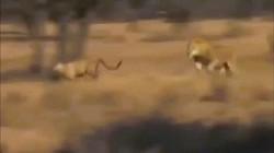 """Báo săn """"siêu tốc độ"""" lạc vào lãnh địa sư tử và cuộc đối đầu thảm khốc"""