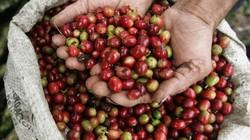 """Giá cà phê hôm nay 3/1 tăng nhẹ, giá tiêu lùi về mức """"nguy hiểm"""""""