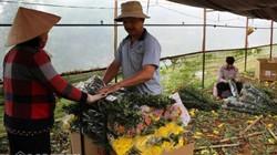 Người Đà Lạt xót xa nhổ hoa cúc vứt đi vì giá rẻ bất thường
