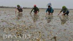 Quảng Ninh: Hàng chục hộ dân khốn đốn vì ngao chết hàng loạt