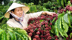 Giá cà phê hôm nay 5/1 đảo ngược, giá tiêu dự báo sẽ giảm sâu
