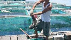 Nuôi loài cá to ăn khỏe dưới biển, dân đảo Lý Sơn trúng lớn