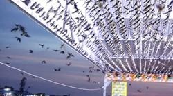 Cảnh hiếm có: Hàng ngàn chim én đậu kín nhà 1 hộ dân Đồng Tháp