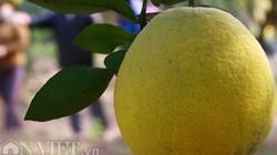 """Bí kíp chọn """"trái vàng đặc sản"""" chính hiệu của chủ vườn bưởi Diễn"""