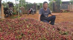 Giá cà phê lao dốc, nông dân Tây Nguyên đau xót mất hàng nghìn tỷ