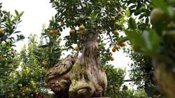 Ảnh, clip: Quất gỗ lũa độc lạ chơi Tết ở Hà Nội