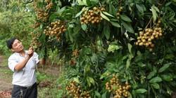 """Lo sợ """"bão giá"""", Hưng Yên chỉ đạo không trồng mới nhãn, chuối, cam"""