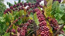 Giá cà phê hôm nay 9/1 tăng trở lại, giá tiêu rơi tự do
