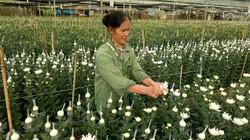 Ngắm vườn hoa cúc bán Tết lớn nhất phố núi Sơn La
