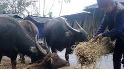 Cán bộ khuyến nông năng nổ giúp người vùng cao giữ đàn trâu, bò
