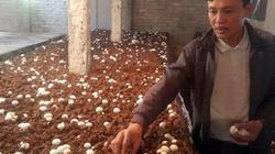Đặc sản Tết: Hối hả chăm loài nấm trắng như ngọc, lãi 50 triệu/tháng