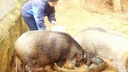 Trai Pa Cô săn lợn rừng về thả vườn nhân thành đàn giống