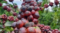 Giá cà phê hôm nay 10/1 đổi chiều, giá tiêu rớt thảm, nông dân mất 20 triệu/tấn