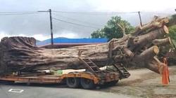 """Bất ngờ nguồn gốc cây """"quái thú"""" bị chặn tại Thừa Thiên-Huế"""