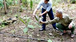 Trồng cây khôi nhung-loài thuốc quý bán lá 200-300 ngàn đồng/kg