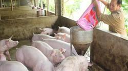 """Sau """"bão giá lợn hơi"""", lợn sữa lợn choai xuất ngoại thu nửa tỉ USD"""