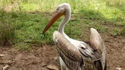 """TT-Huế: Dân bắt được 2 con chim lạ """"khổng lồ"""" quý hiếm"""