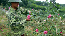 """Đánh liều trồng 3ha hồng cổ, """"Hai Lúa"""" Thái Nguyên kiếm bộn tiền"""