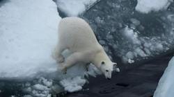 Khoảnh khắc gấu trắng nặng 4 tạ nhảy lên tàu ngầm hạt nhân Nga