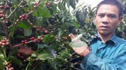 Làm giàu: Trưởng bản Sàng trồng cà phê trên đất dốc, lãi trăm triệu