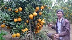 """""""Lạc lối"""" ở vườn cam vàng óng như dát vàng, có cây """"đẻ"""" cả tạ quả"""