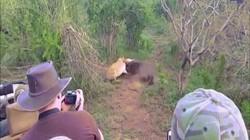 Linh dương kịch chiến với sư tử vì sự sống còn và kết cục bất ngờ