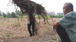 Thương lái biệt tăm, nhà máy nợ tiền, nông dân trồng mía mất tết