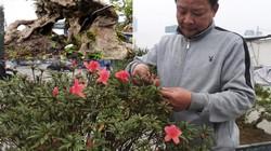 """Đỗ quyên bonsai """"hàng độc"""" chưng Tết giá gần tỷ """"trình làng"""" Thủ đô"""