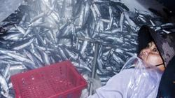 Quảng Ngãi: Săn loài cá chuồn cồ bay khắp mặt biển ngon nức tiếng