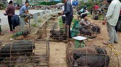 Đặc sản Tết vùng cao: Ngon nhất lợn cắp nách, gà thả rông, chim câu